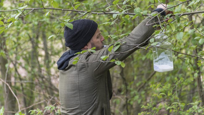 In this April 23 photo provided by the Washington State Department of Agriculture, Chris Looney, a Washington State entomologist, places a trap used to search for the Asian giant hornet in Blaine, Wash.