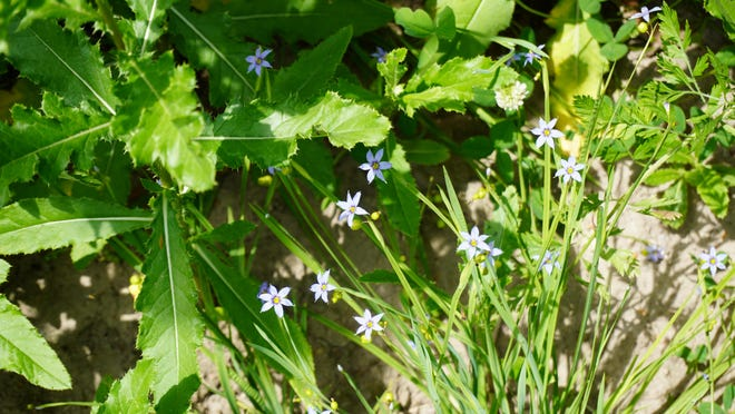Blue-eyed grass is in the iris family and has dainty six-petaled, sky-blue flowers.