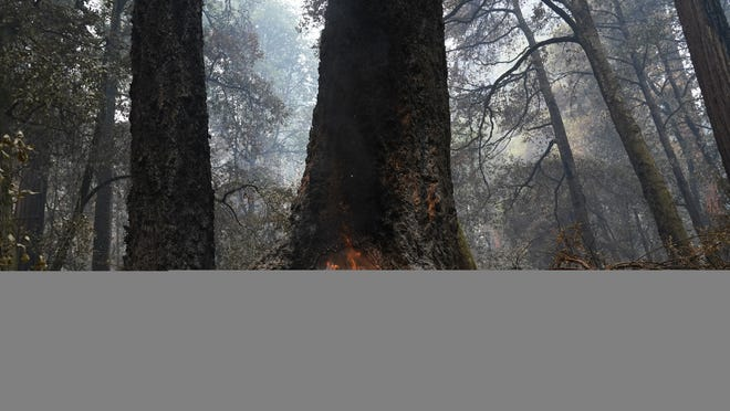 Fire burns in the hollow of an old-growth redwood tree in Big Basin Redwoods State Park, Calif., Monday, Aug. 24, 2020. The CZU Lightning Complex wildfire tore through the park but most of the redwoods, some as old as 2,000 years, were still standing.