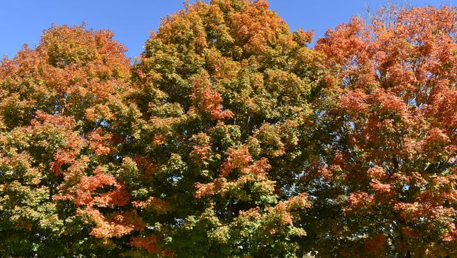 Fall colors were vibrant in the parking lot near the garden exhibits at the North Carolina Arboretum in Asheville on Tuesday.