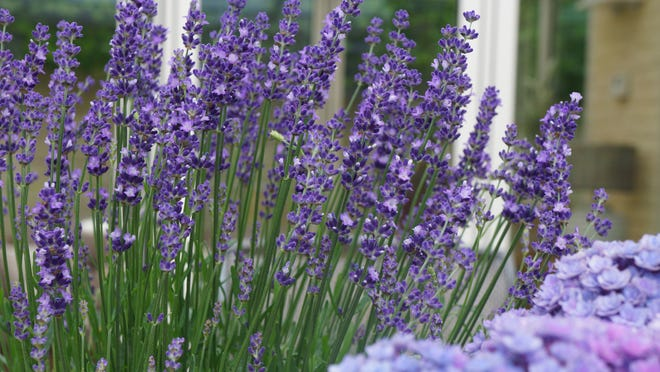Munstead is a lovely English lavender.