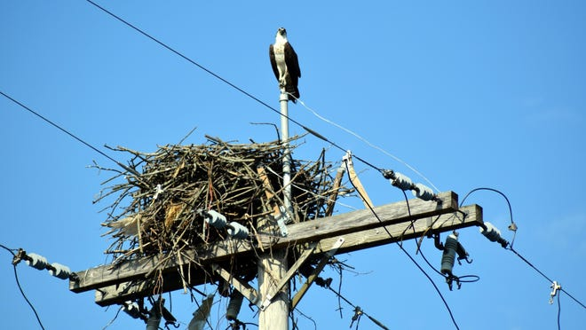 One member of a family of Osprey which set up nesting on top of a power pole on Union City Road.