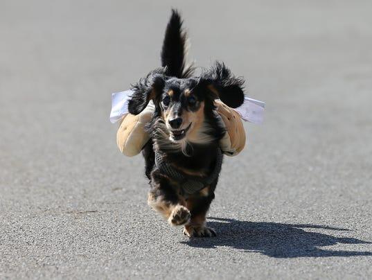 091517_WEINER_DOGS