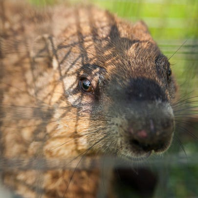 A groundhog waits after being trapped by Dick Craig on May 28.
