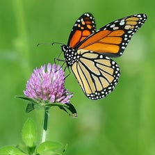 A monarch butterfly sits on a clover flower in southwest Sioux Falls on Monday, August 25, 2014.