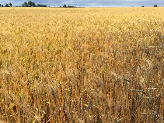 Crawford County wheat field