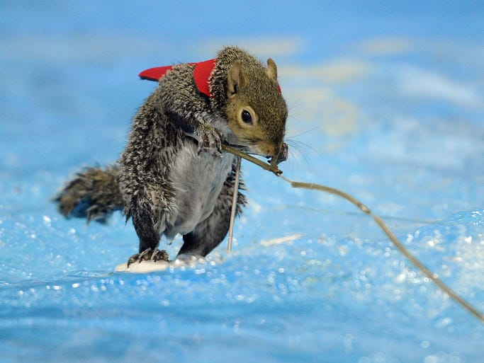Twiggy, the world-famous water-skiing squirrel, warms up for the Indianapolis Boat, Sport and Travel Show at the Indiana State Fairgrounds.