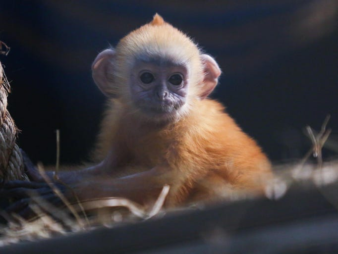 Baby male Silvered leaf langur in the new Langur Landing