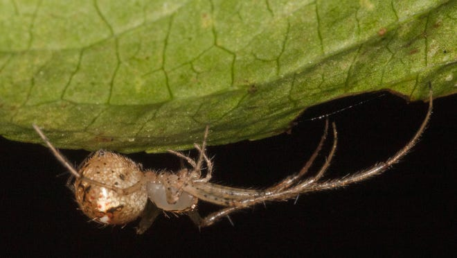 A pirate spider lurks under a leaf.