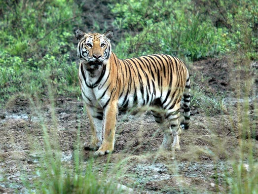 Globally, the tiger population has grown as well. In