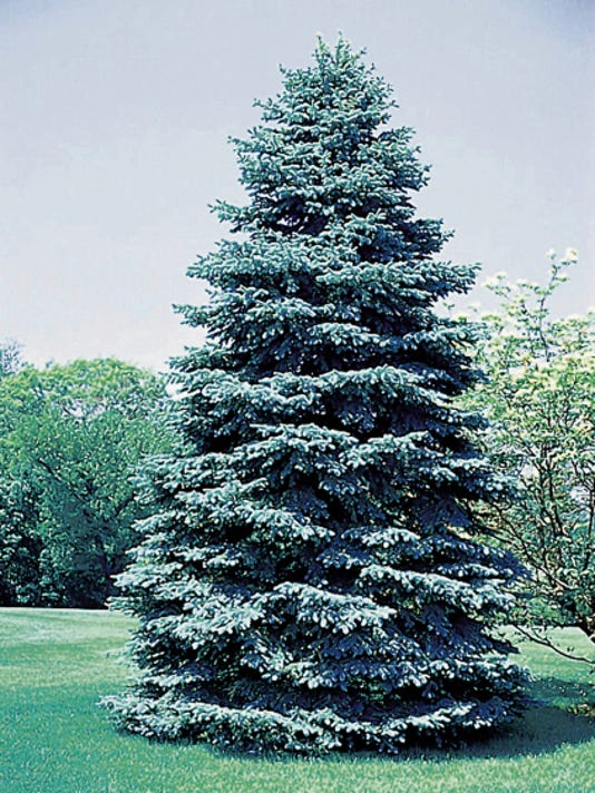 Colorado Blue Spruce.