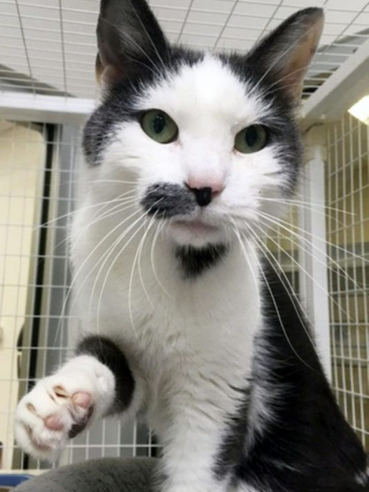 Willy, 3, is a gray and white male cat who also loves getting attention.
