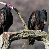 Vultures soar to do the dirty work