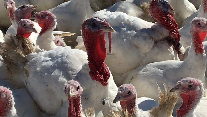 "Only male ""Tom"" turkeys gobble. Female turkeys chirp. Tewes Poultry Farm in Erlanger, Kentucky, raised more than 3,000 turkeys this year - most of which will be on Thanksgiving dinner tables around Cincinnati."
