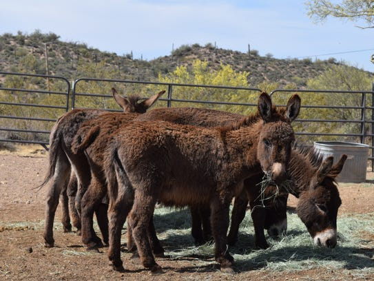 Miniature donkeys hang out at Triple R Horse Rescue