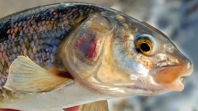 Michigan is exploring the possibility of commercial fishing for whitefish in southern Lake Huron.