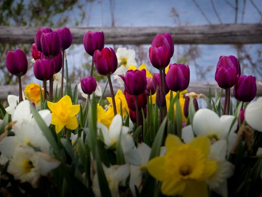 Manitowoc photographer Jon Hansen's picture of tulips has won first place in the Friends of Mariners Trail group's 2016 Mariners Trail photo contest.