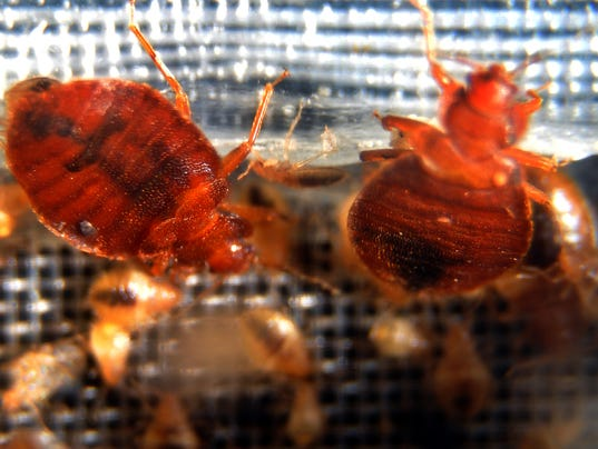 Bed bugs crawl around in a container on