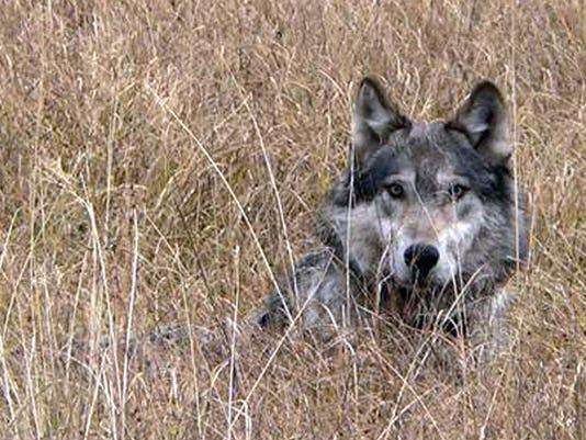 1 Wolf Hunt