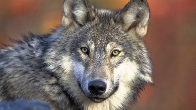 Voters in November will decide whether a wolf hunt could be allowed during this year's hunting season.  AP file photo FILE - This April 18, 2008, file photo provided by the U.S. Fish and Wildlife shows a gray wolf. The Michigan Legislature could move as early as next week to pass a pro-hunting law designed to make moot two statewide referendums in November that would stop state-sanctioned wolf hunts. (AP Photo/U.S. Fish and Wildlife Service, Gary Kramer, File)