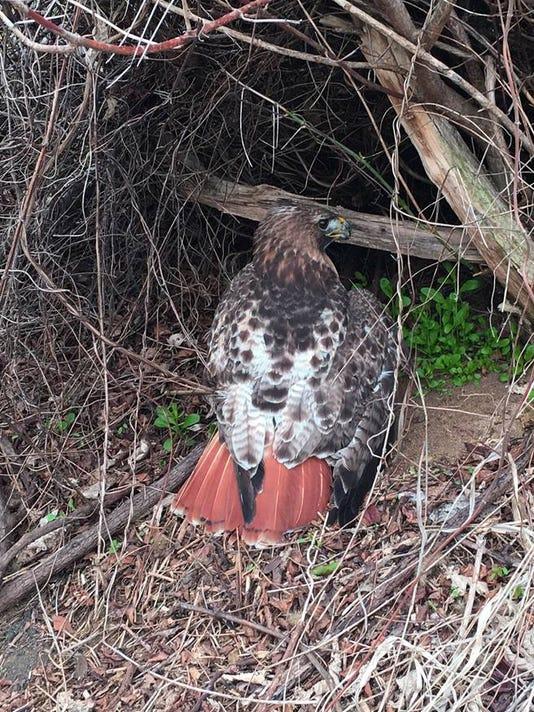 Injured hawk