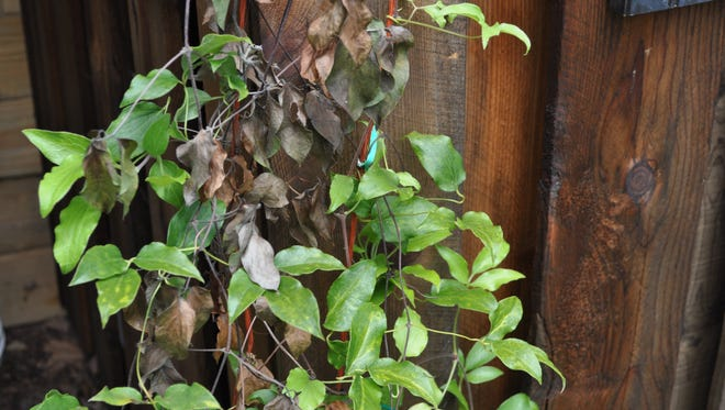 Clematis shoot die back is common, but not fatal.