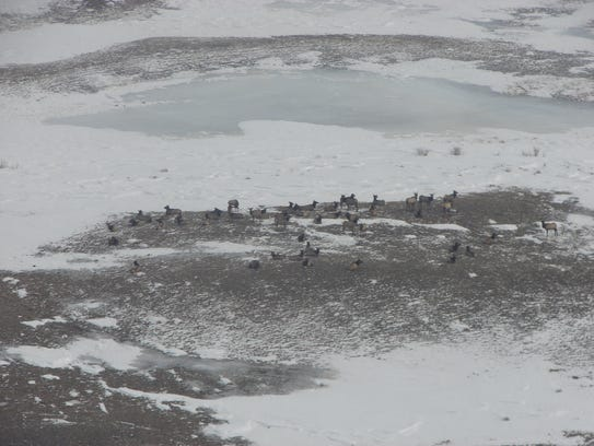 """Elk congregate on the prairie north of Browning. """"Elk"""