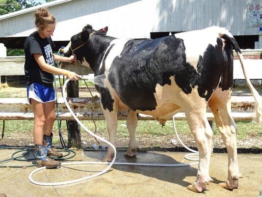Washing her steer