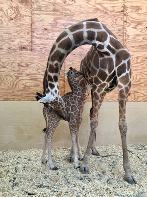 The unnamed baby giraffe is seen here nursing from mother Sunny. The calf was born Jan. 8 and struggled to nurse before zoo officials stepped in, according to a news release.