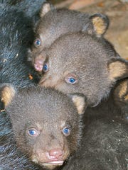Black bear cubs in Kentucky.