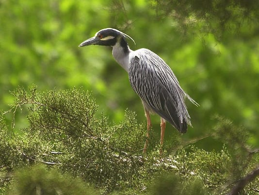 A YELLOW CROWNED NIGHT HERON