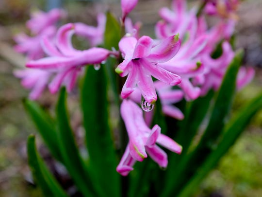 A pink hyacinth is in full bloom Wednesday, May 6, 2015 at Sunny Fields botanical park in Emmett Township. The 40-acre parcel of land boasts a collection of thousands of types of flowers, exotic plants and trees.