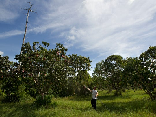 Cape Coral resident Armondo Ramos collects ripe mangoes from the grove at The Mango Factory in Bokeelia Friday.