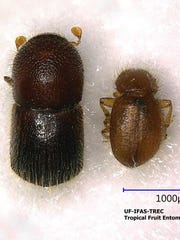 The Asian ambrosia beetle female (left) and male (right).