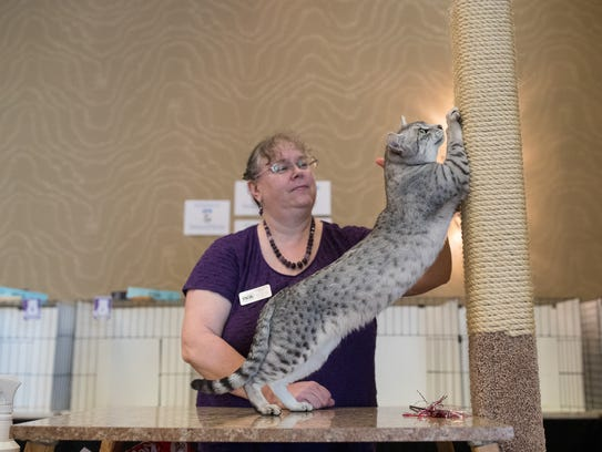 A cat is judged by Charlotte Shea during the TICA Annual