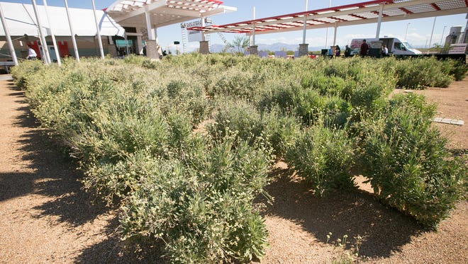 Guayule bushes at the Bridgestone guayule research center in Mesa. The rubber from the bush can be used for tires.