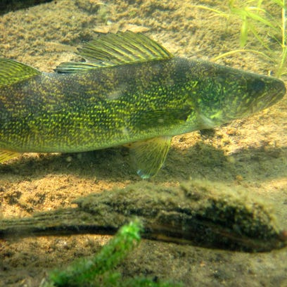 Wisconsin walleye have been declining for a long time.
