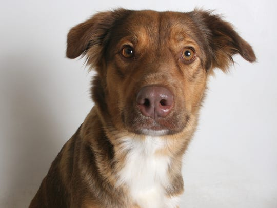 Felicia is a 1-year-old, tan and white, female border