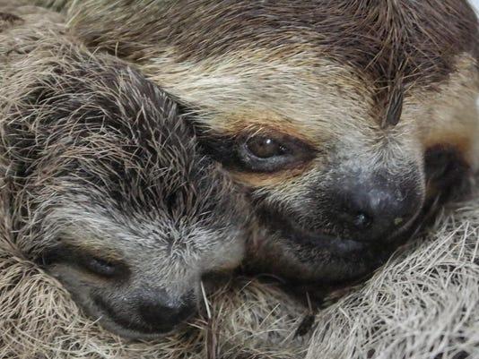 636558759203681129-Ole-Miss-sloth-5.jpg