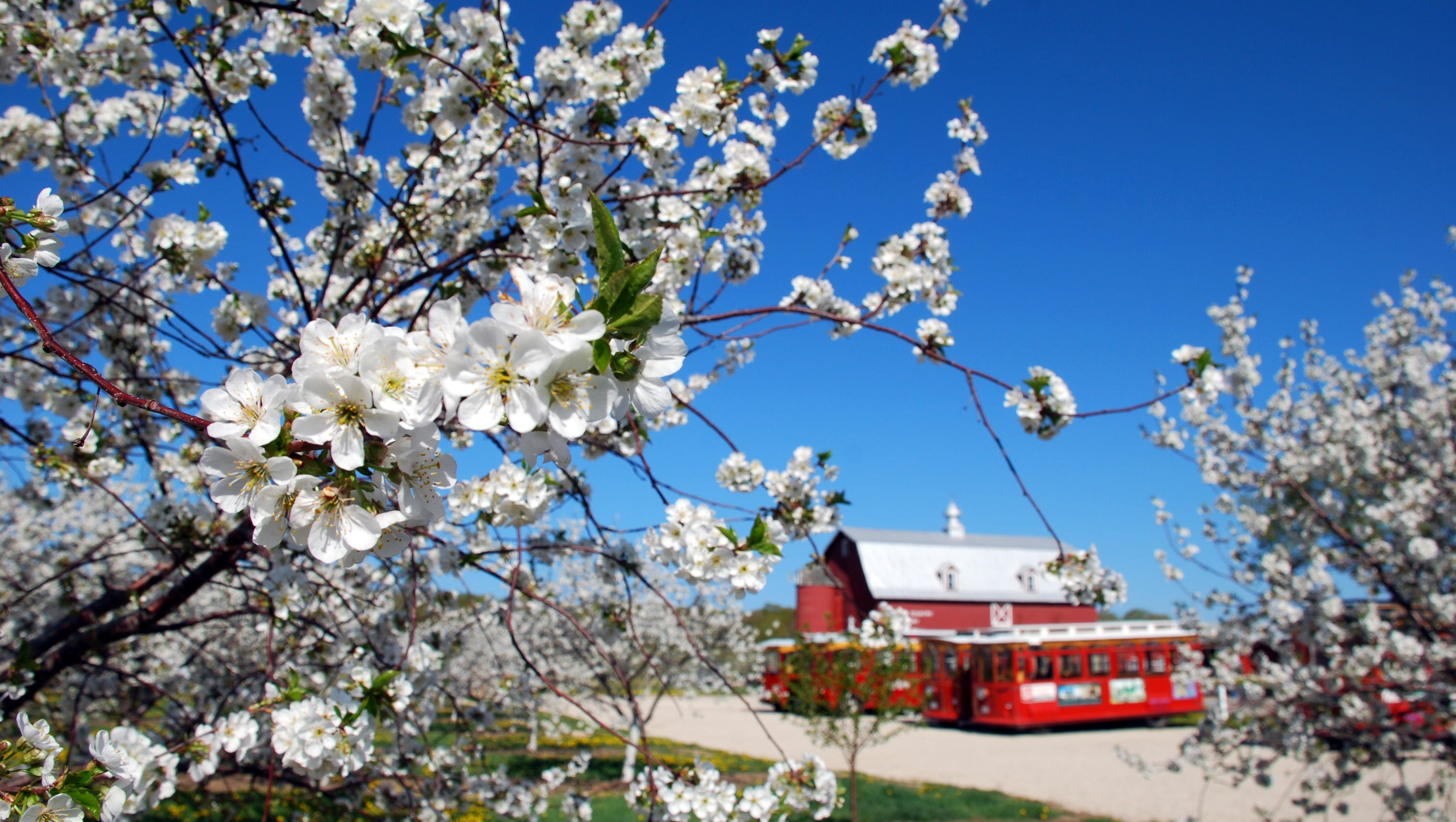 Door County S Cherry Blossoms Put On A Dazzling Display