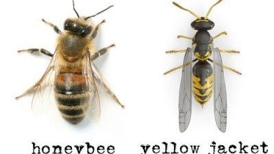 They may appear to be the same, on a glance, but yellow jackets and honeybees have distinct differences.
