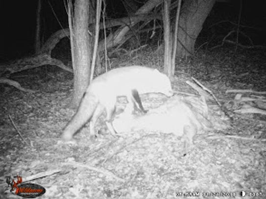 Along with coyotes, a fox was among the animals feeding from deer carcass in Farmington Hills.