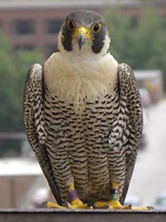 dfp umich falcon chi.JPG