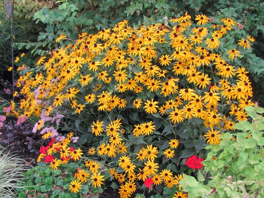 Rudbeckia 'Goldstrum' attracts insects to its nectar