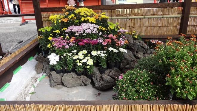 Mums are on display at Sensoji Temple in Tokyo, Japan, where the flowers even appear on the 50-yen coin.
