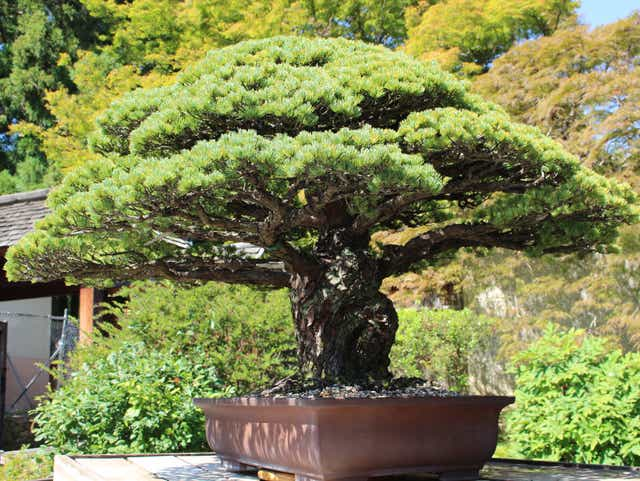 Bonsai Tree Nearly 400 Years Old Survived Hiroshima And Is Still Flourishing In D C