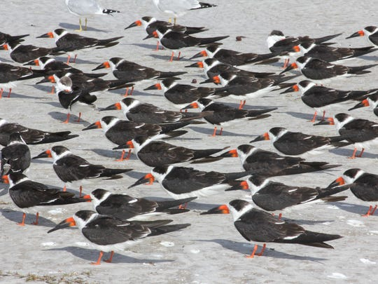 A colony of black skimmers aligned against a gusty wind in Florida's Fort De Soto Municipal Park.