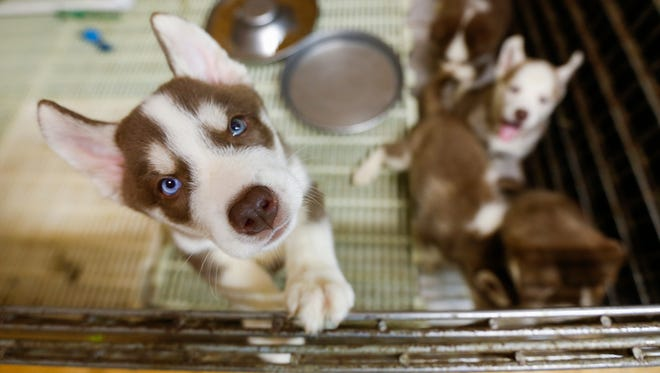Husky puppies play in an open pen inside of Ann Quinn's breeding room in Niangua on Thursday, May 31, 2018.