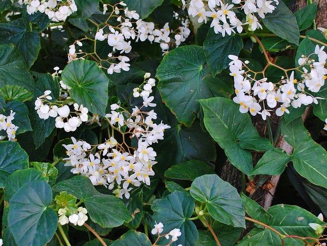 Begonias Sending Sweet Scent Throughout Treasure Coast Gardens