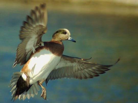 A beautiful widgeon takes off in flight.